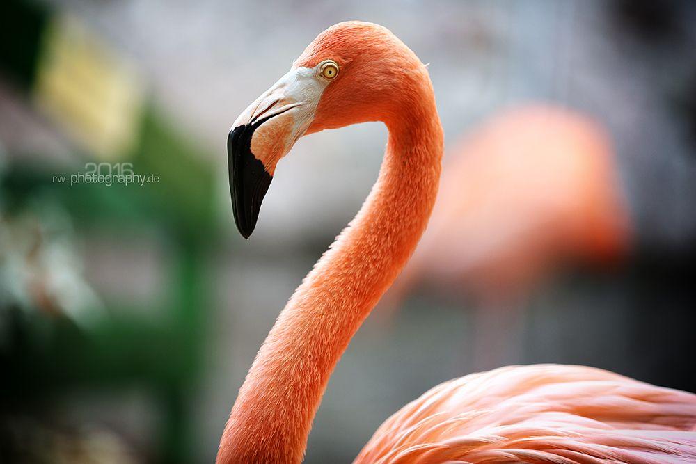 Flamingo auf Bonaire